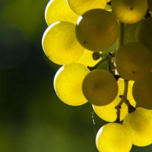 Uva bianca bardolino